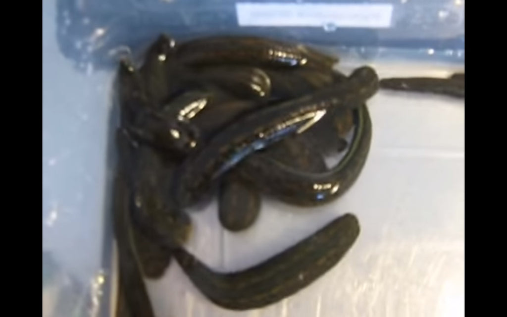 Video: Friedrich's leech collection