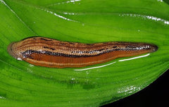 Asian Tiger Leech