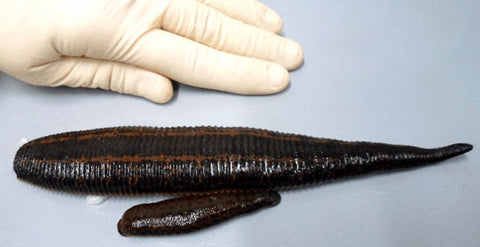 Giant Dracula Pet Leech
