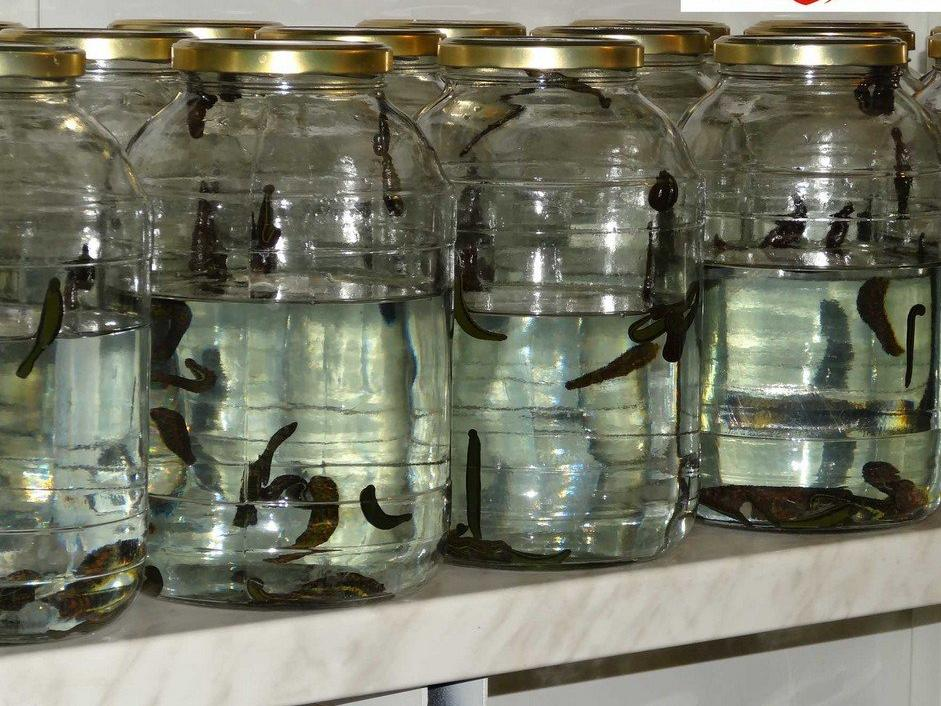 70 Hirudo Leeches for Sale Small-Sized