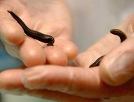 2 Hungarian Leeches Large-Size