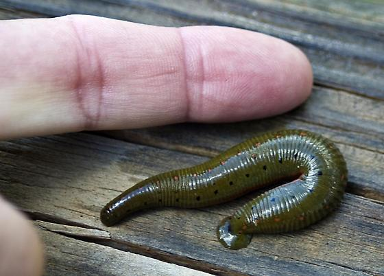 North American Leech
