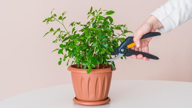 Trimming Houseplants