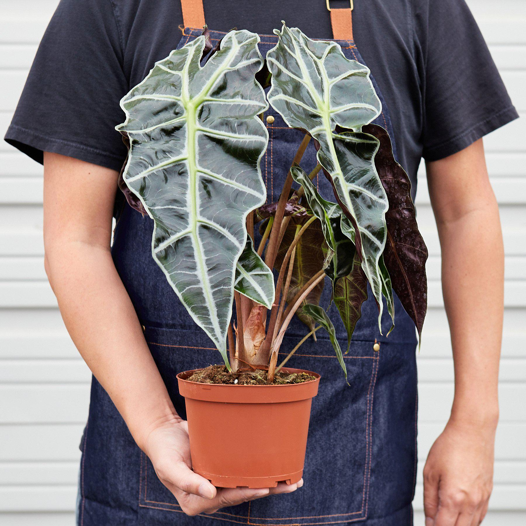 Alocasia Polly 'African Mask' - House Plant Shop