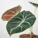 "Alocasia Reginula 'Black Velvet' - 4"" Pot - House Plant Shop"