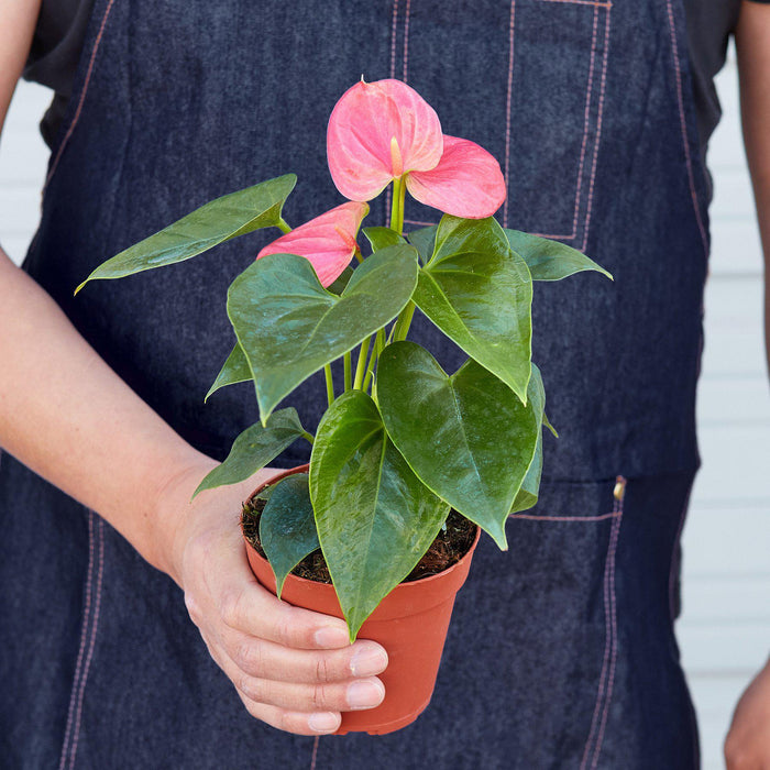 "Man holding 4"" potted Anthurium pink"