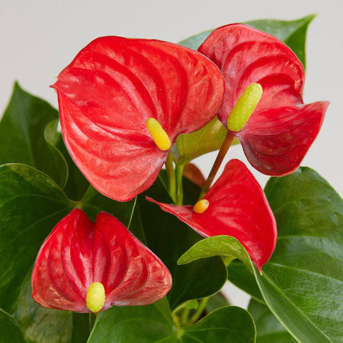 "Anthurium 'Red' - 6"" Pot"