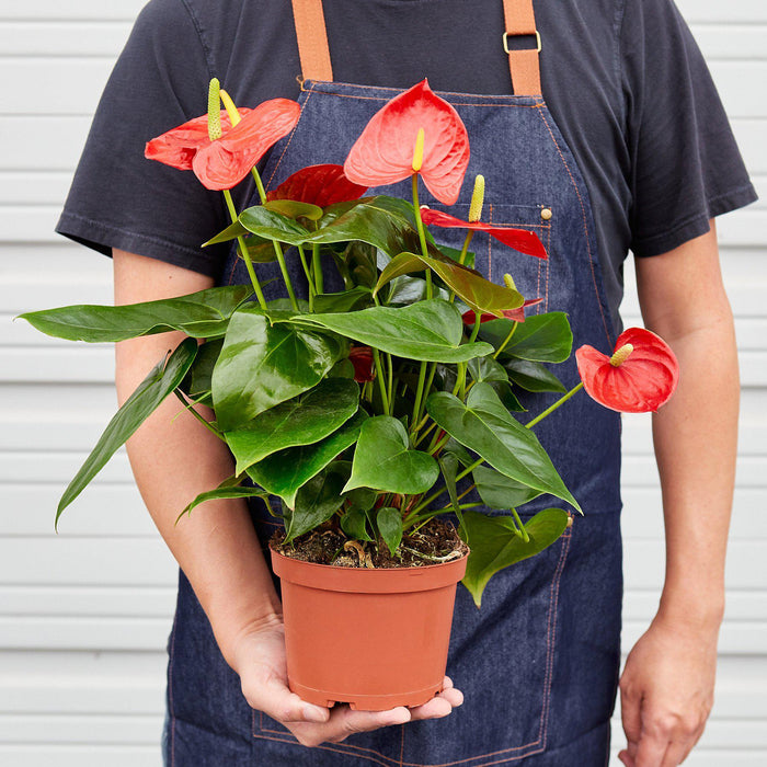 "Man holding 6"" potted Anthurium Red"