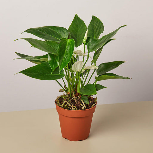 "4"" Potted Anthurium White"