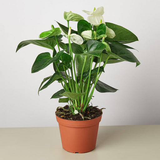 "6"" Potted Anthurium White"