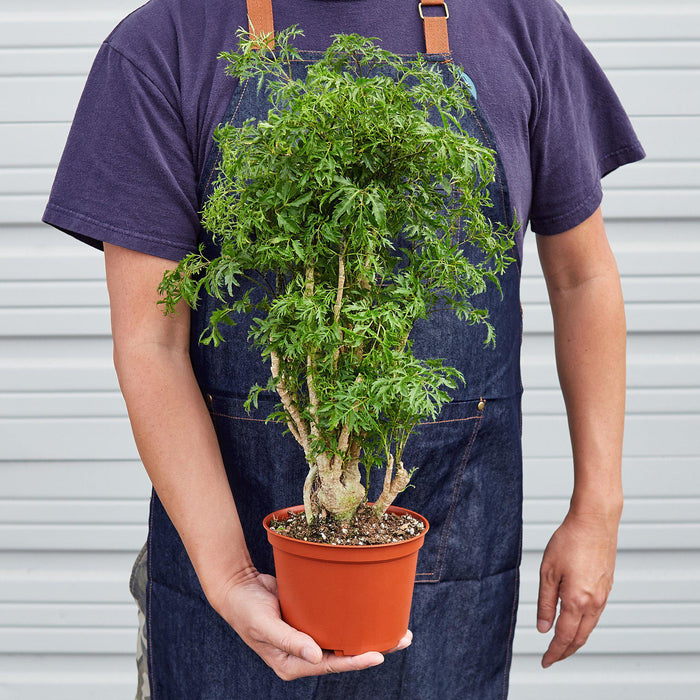 Aralia 'Ming Stump Plant' - House Plant Shop