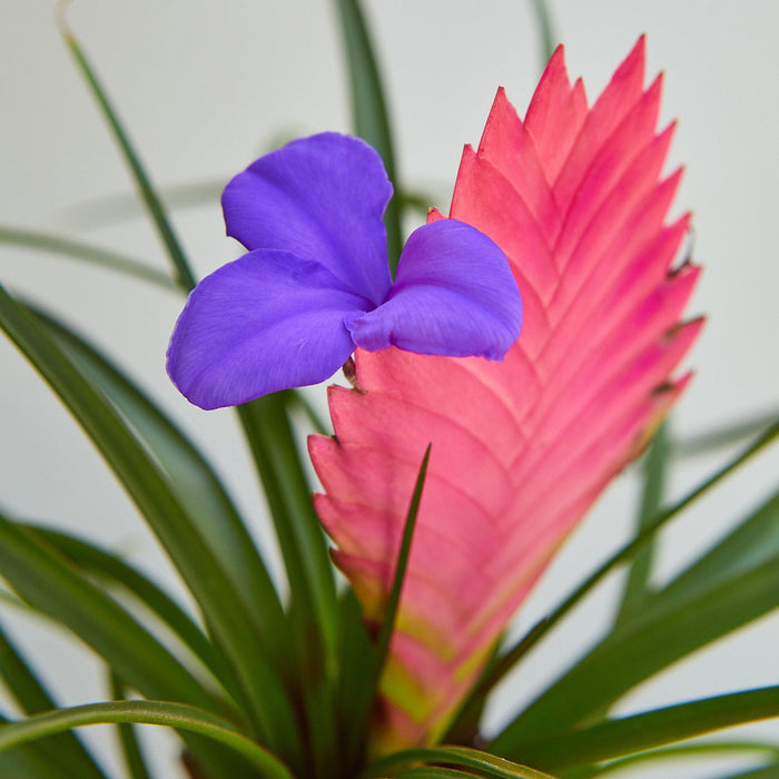 Bromeliad Cyanea 'Pink Quill'
