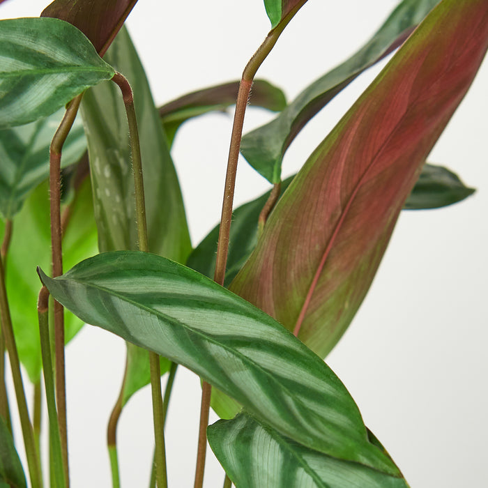 Calathea 'Grey Star'