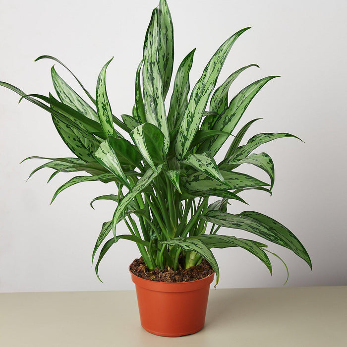 "6"" potted Chinese Evergreen Cutlass"