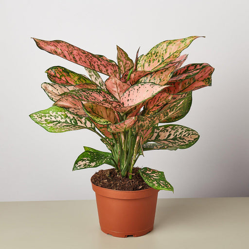 "6"" potted Chinese Evergreen lady Valentine"