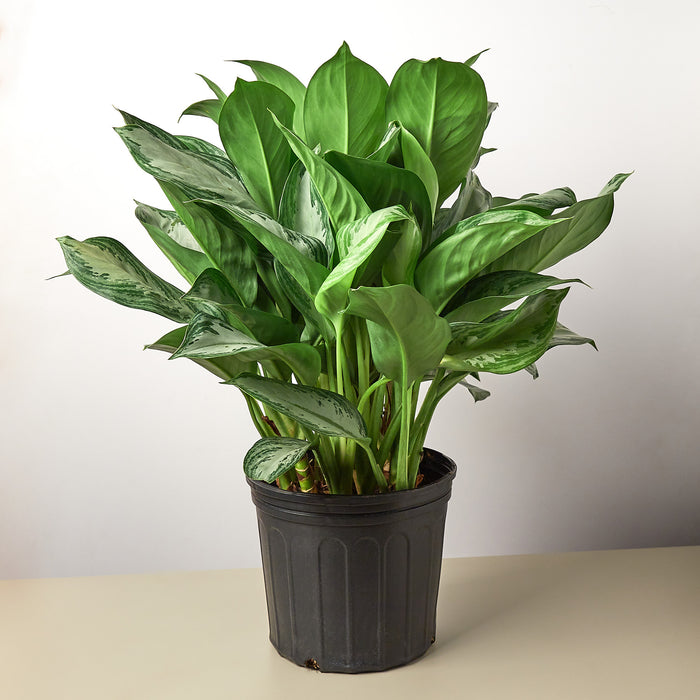 "Chinese Evergreen 'Silver Bay' - 10"" Pot"