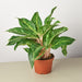 Chinese Evergreen 'Sparkling Sarah' - House Plant Shop