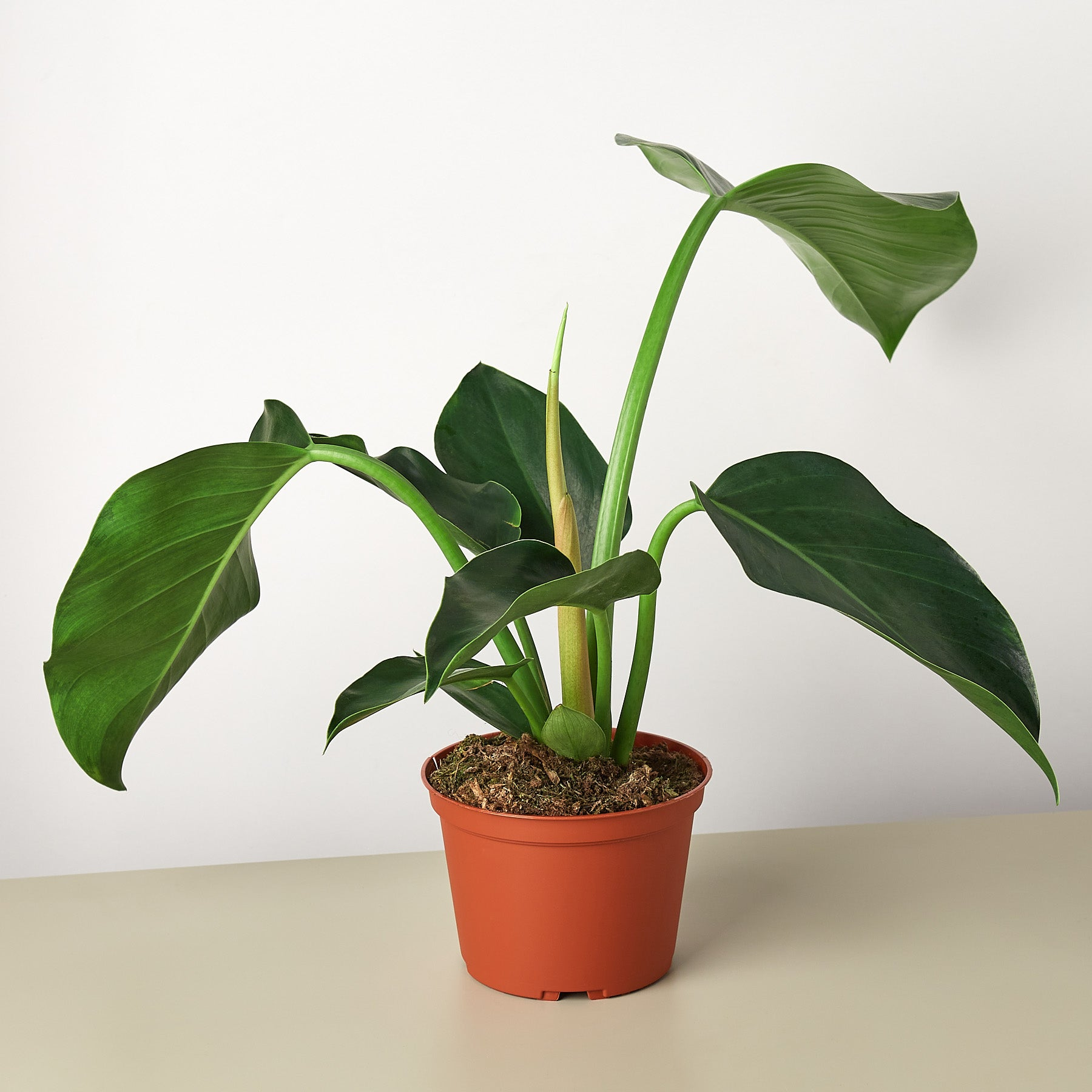 Philodendron 'Congo Green' - House Plant Shop