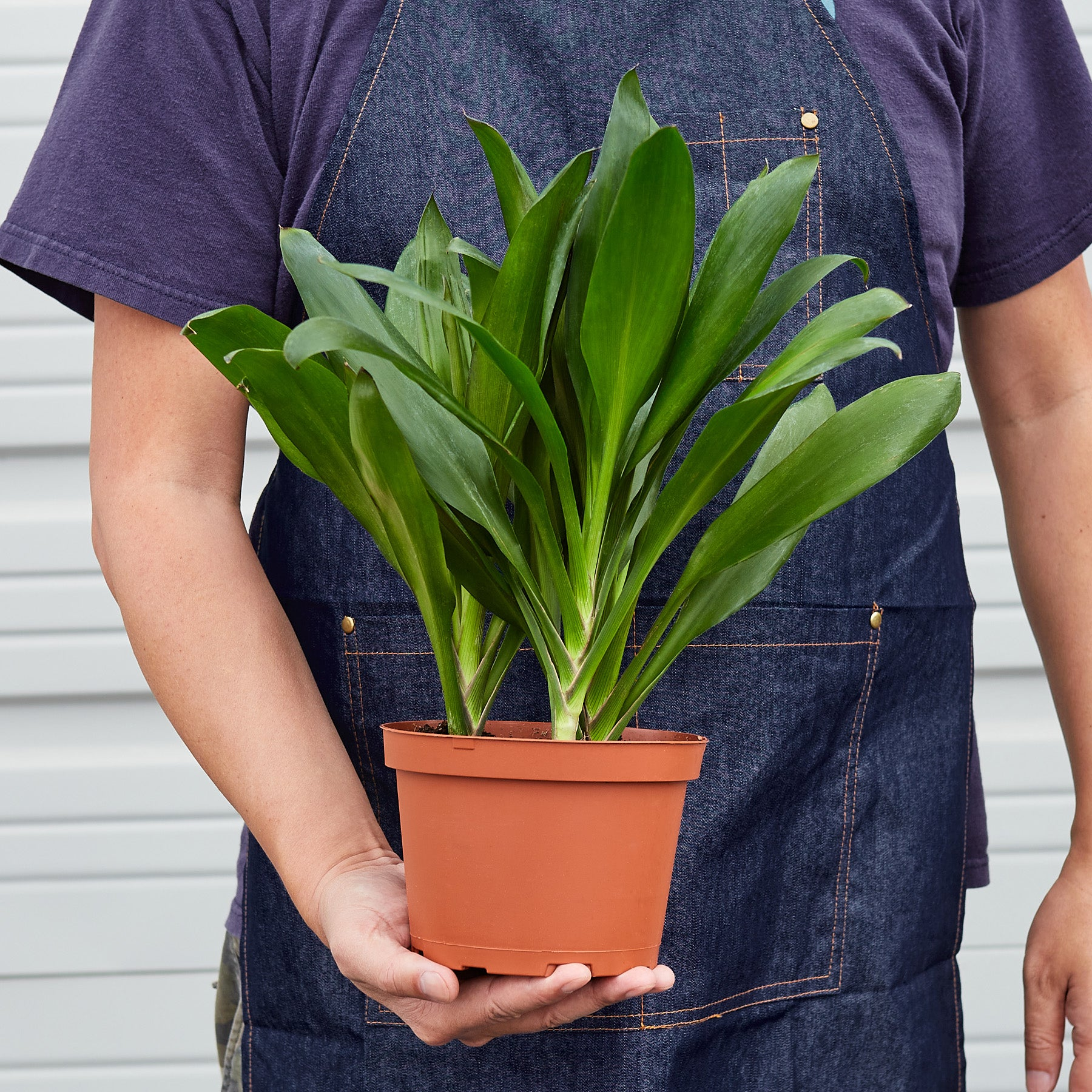 Cordyline Glauca - House Plant Shop