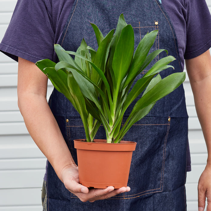 "Man holding 6"" potted Cordyline Glauca"