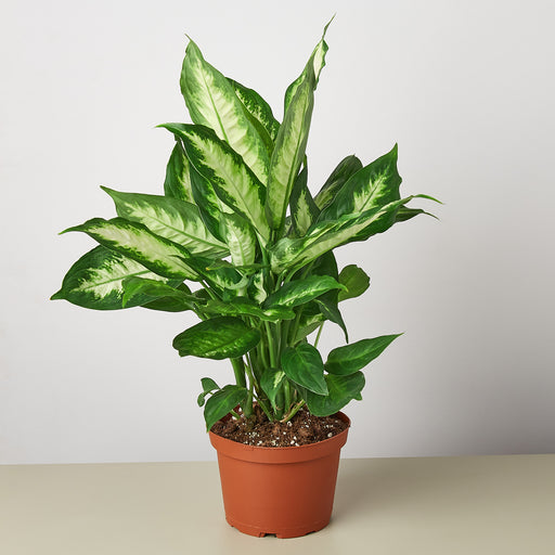 "6"" potted Dieffenbachia dumb cane"