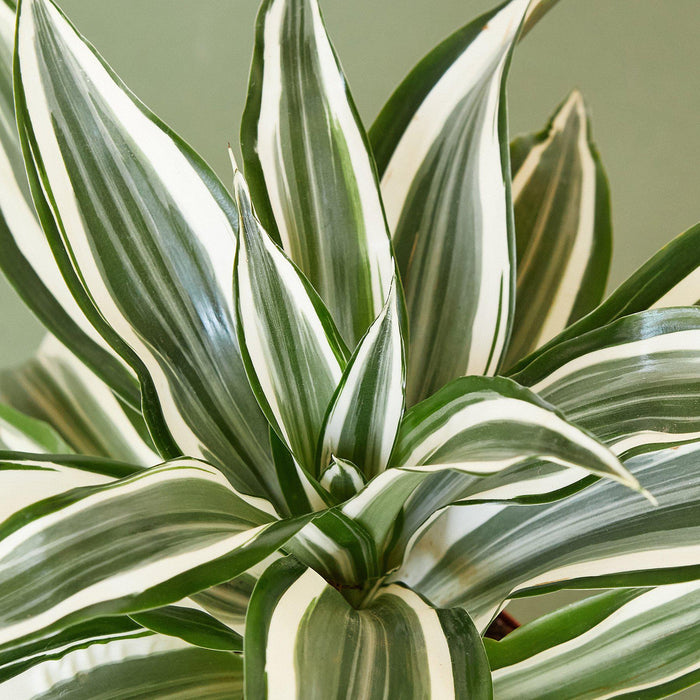 Dracaena Warneckii 'White Jewel' - House Plant Shop