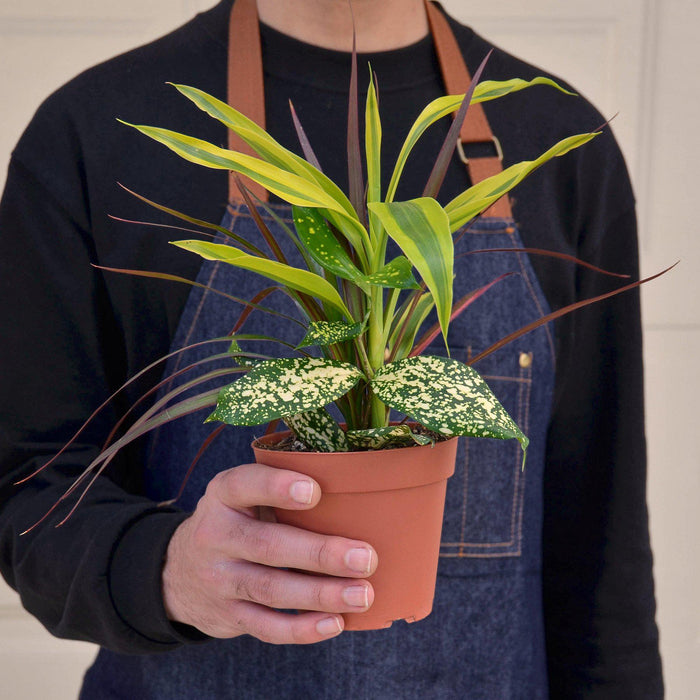 "Man holding 4"" potted dracaena combo"