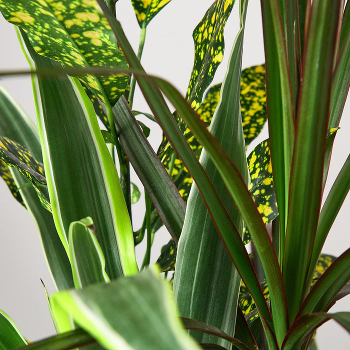 closeup of dracaena combo