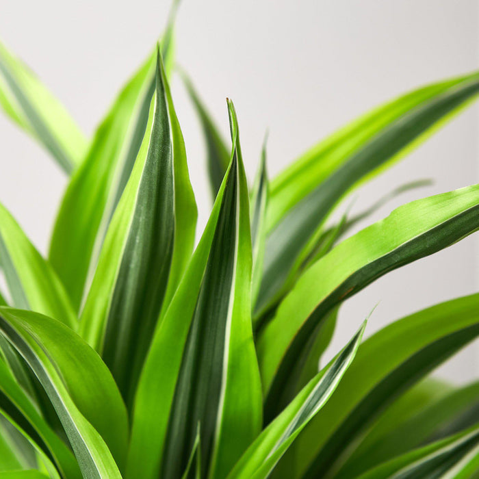 Dracaena Deremensis 'Lemon Surprise'