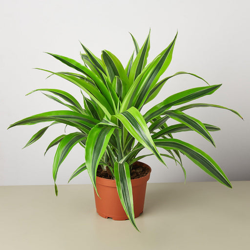 "6"" potted Dracaena lemon lime"