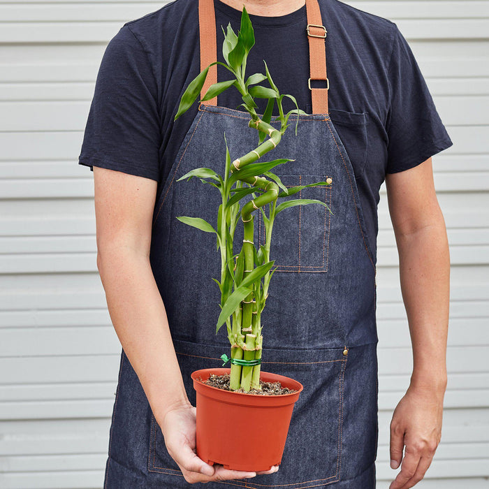 Dracaena 'Lucky Bamboo' - House Plant Shop