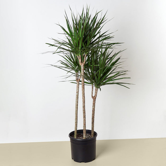 "10"" potted Dracaena Marginata cane"