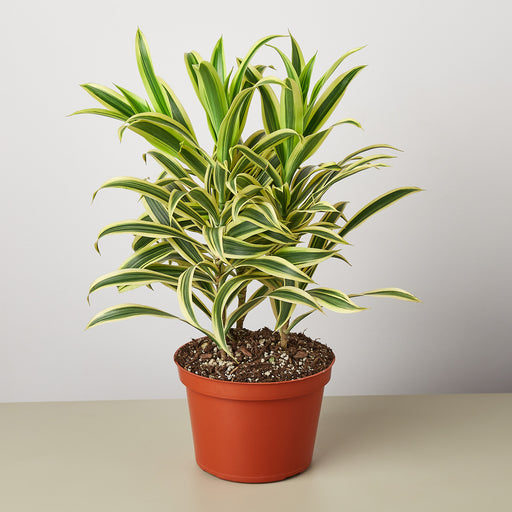 "6"" potted Dracaena Song of india"