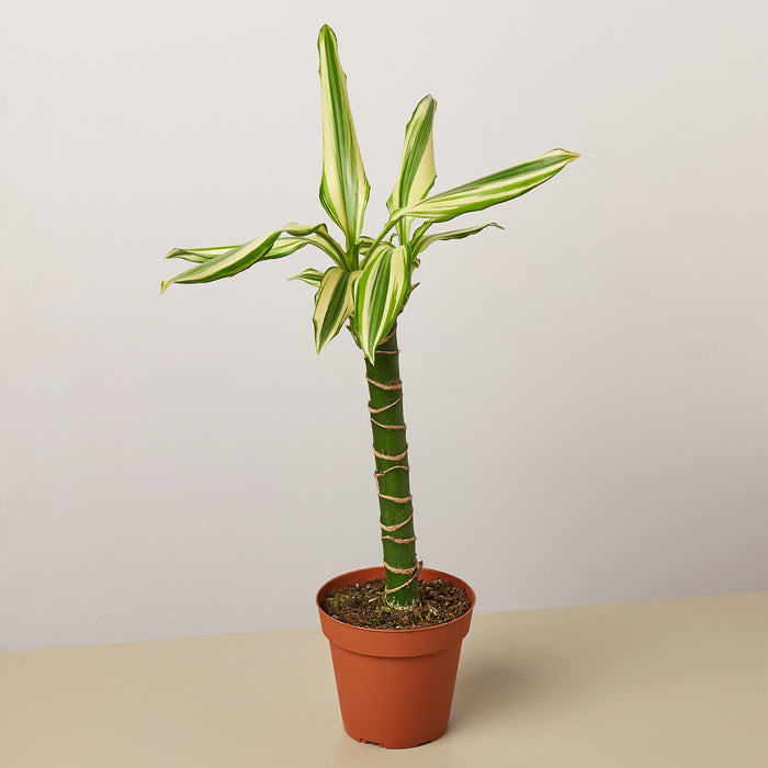 "4"" potted Dracaena sted sol cane"