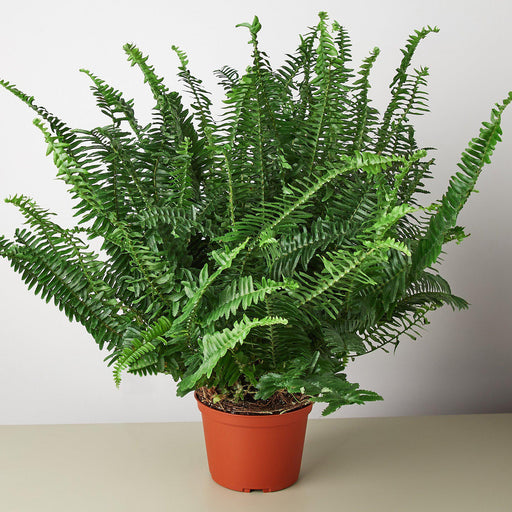 "6"" potted Jester's Crown Fern"