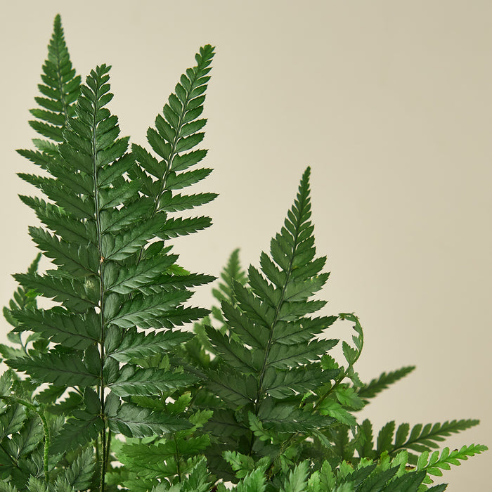 "'Korean Rock' Fern - 4"" Pot"
