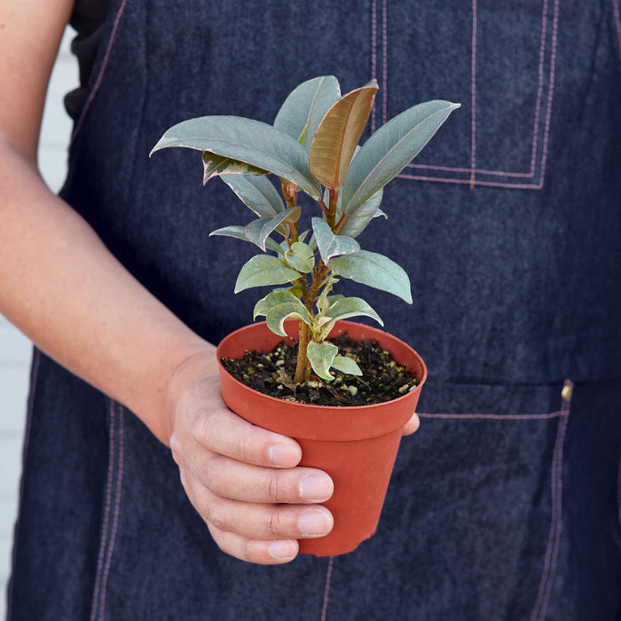"man holding 4"" potted Ficus Tineke"