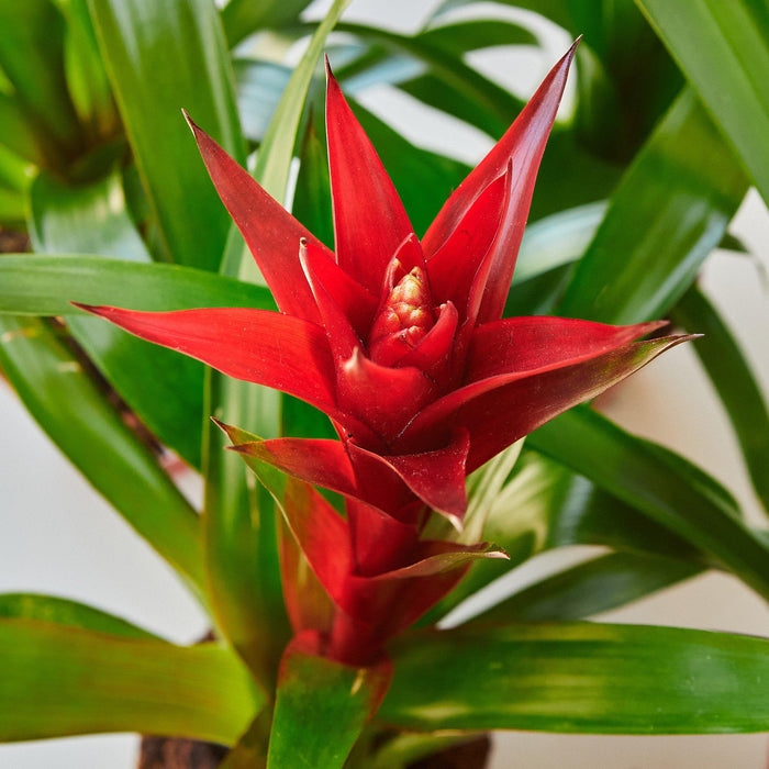 "Guzmania Bromeliad 'Red' - 4"" Pot"