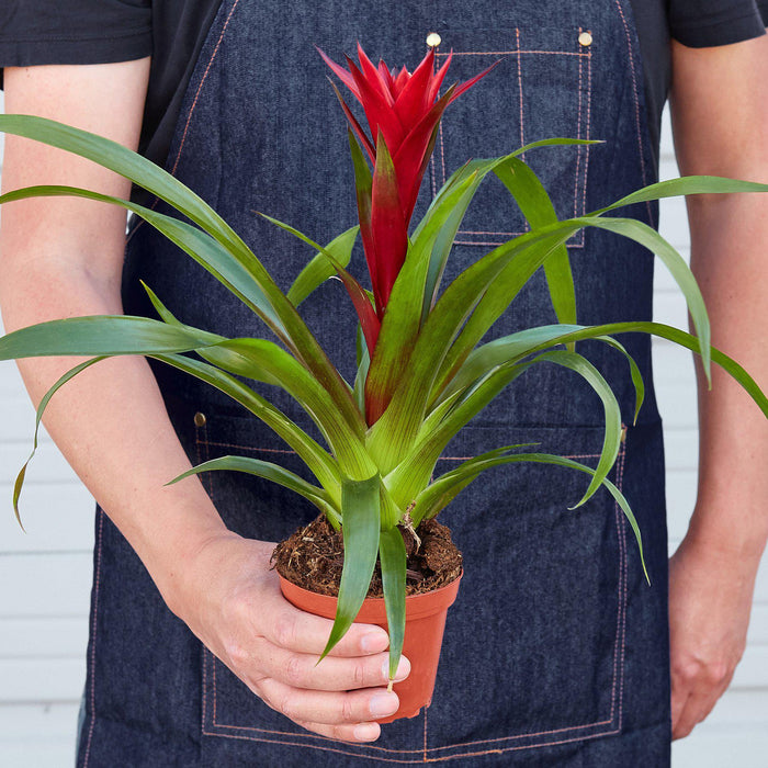 "Man holding 4"" potted Bromeliad Guzmania red"