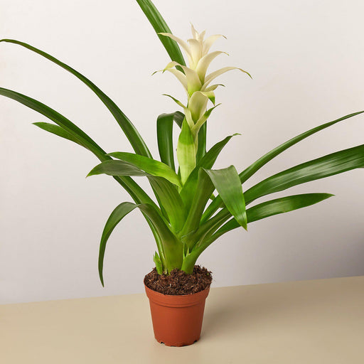 "4"" potted Bromeliad Guzmania White"