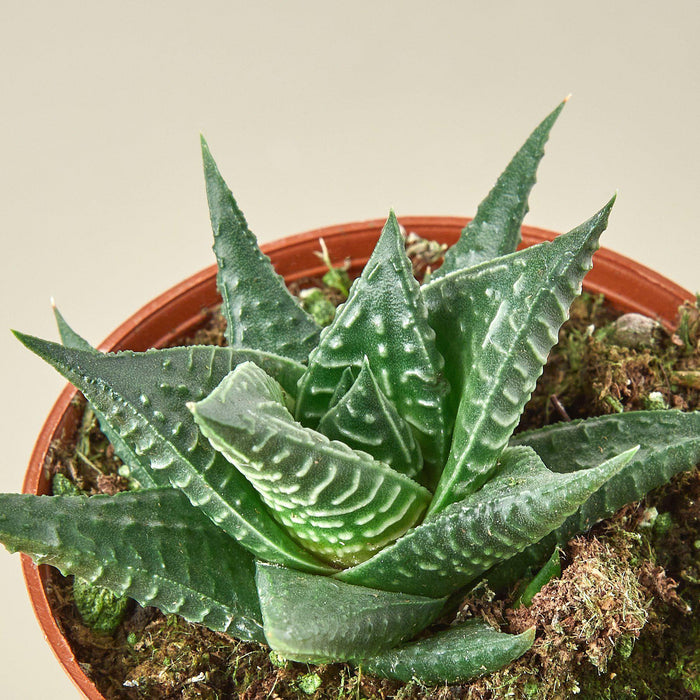 Succulent Haworthia 'Fairy Washboard'