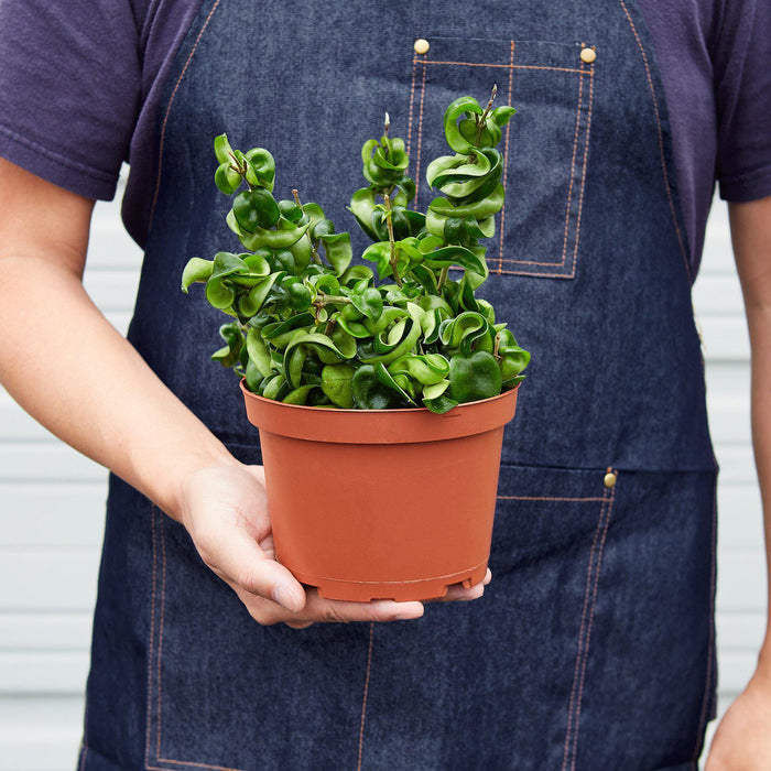 "Man holding 6"" potted Hoya Rope plant"