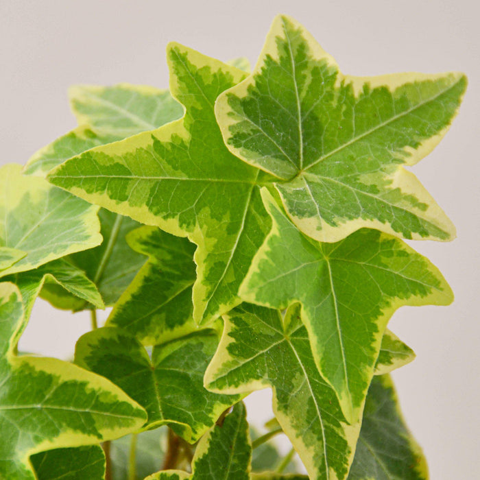 English Ivy 'Gold Child'