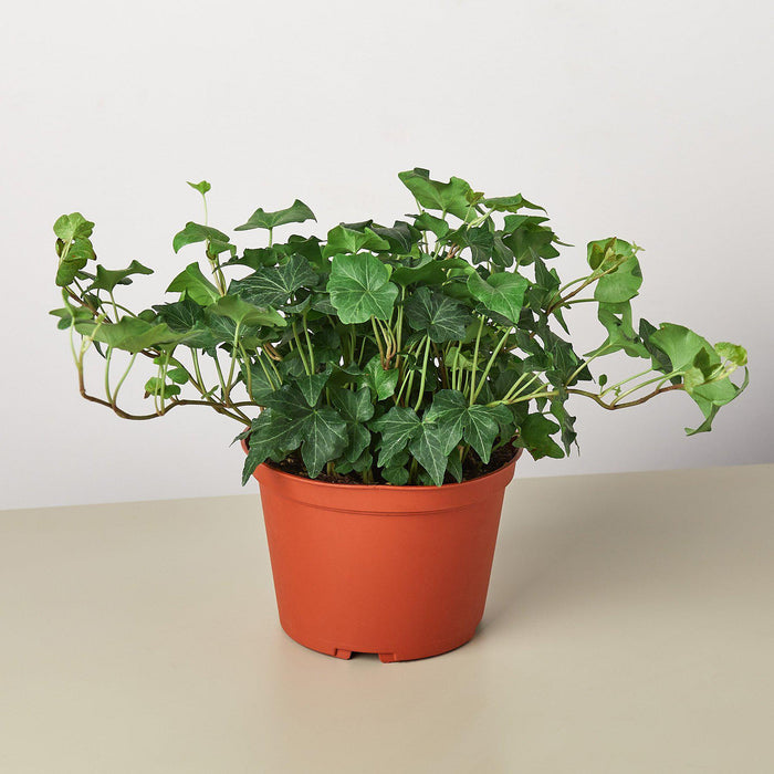 "English Ivy 'Green California' - 6"" Pot"