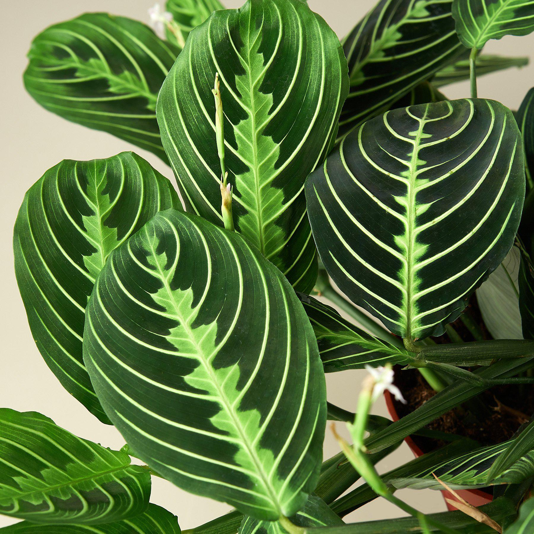 Maranta 'Lemon Lime' - House Plant Shop