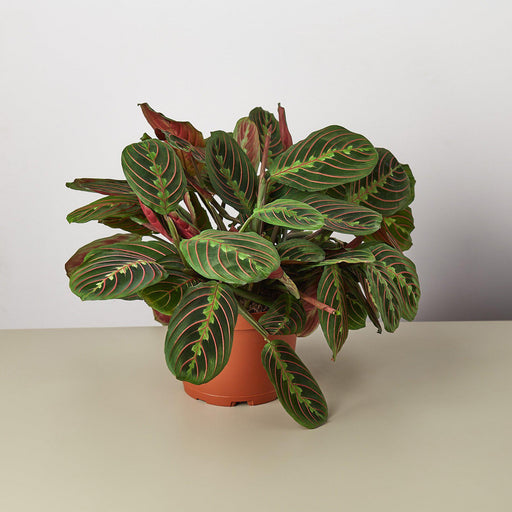 "Maranta Red Prayer 'Herringbone' - 6"" Pot"