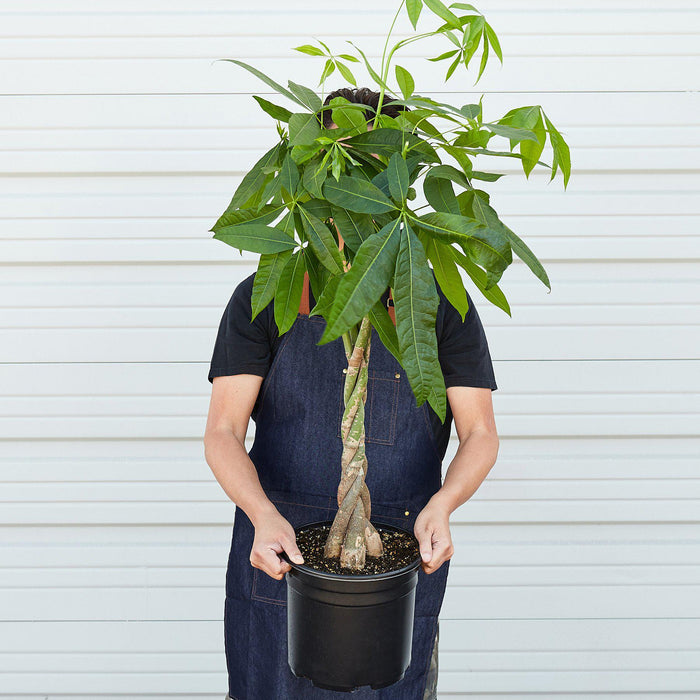 "Man holding 10"" potted Money tree"