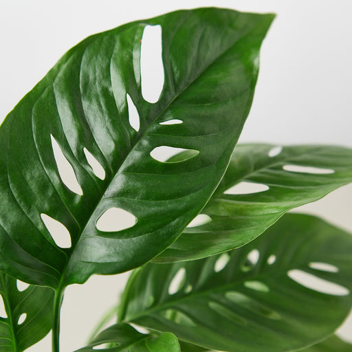 closeup of Monstera swiss cheese