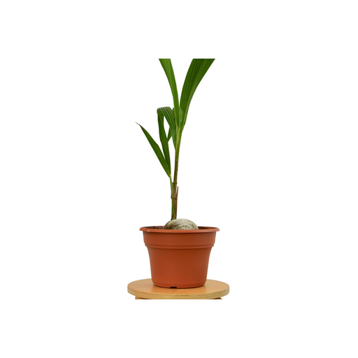 "Coconut Palm 3-4 ft Tall - In  10"" Pot"