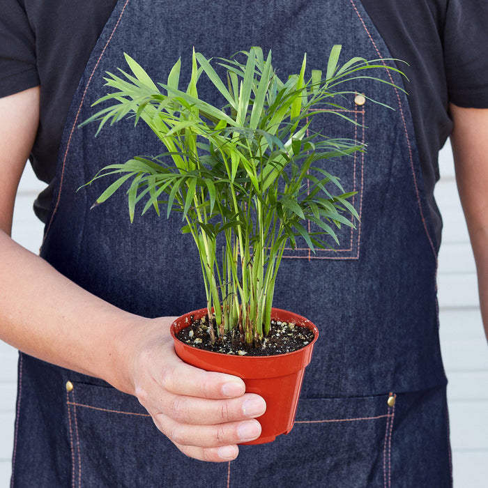 "Man holding 4"" potted Palm parlor"